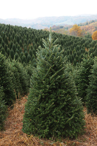 the fraser fir christmas tree is the most popular type of christmas tree north carolina christmas tree farms produce over 50 million fraser fir christmas - Type Of Christmas Trees
