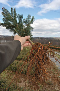 Christmas Tree Transplants - Christmas Tree Farms In North Carolina