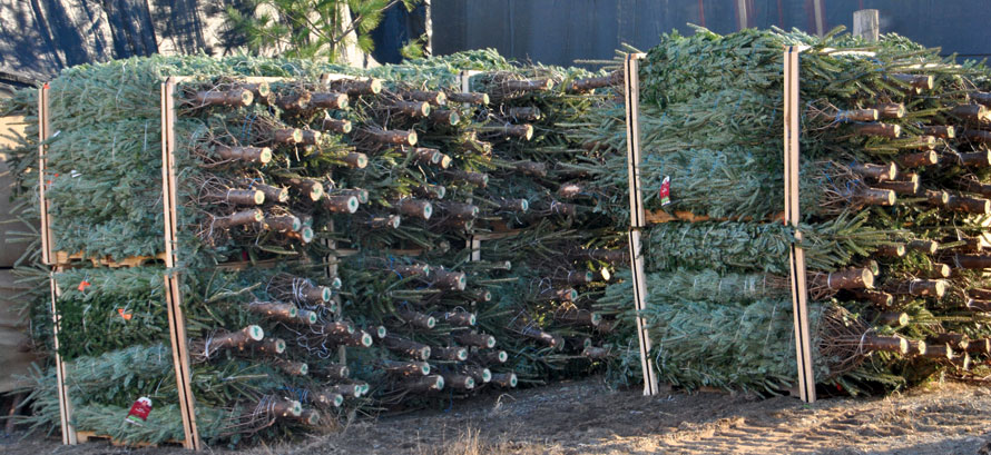 Wholesale Christmas Trees North Carolina