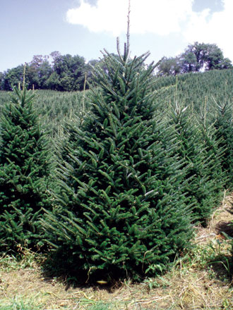 perhaps the most recognized symbol of christmas is the christmas tree each year families across the world put their christmas trees up creating and - Christmas Greenery Wholesale