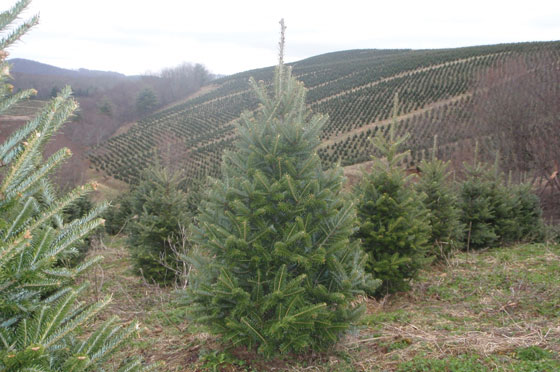 North Carolina Christmas Tree Farm - Christmas Tree Fraiser Fir